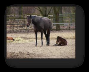 PferdFohlen